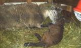 A Lambing Adventure